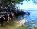 Mangrove Snorkel 2